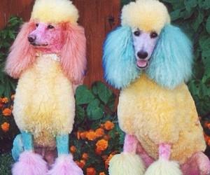 dog, poodle, and rainbow image