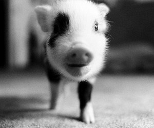 pig and cute image