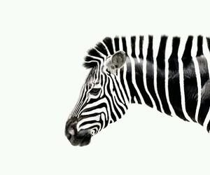 black&white, stripes, and lovely image