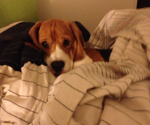 animal, beagle, and bed image