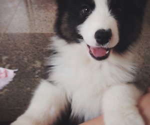 australian sheperd, dog, and puppy image