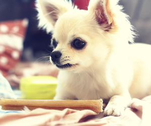 adorable, bone, and chihuahua image