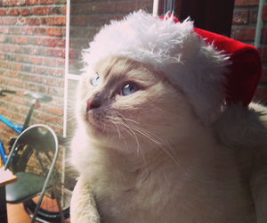 blue eyes, cat, and christmas image