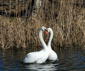 water forest and swan love fly image