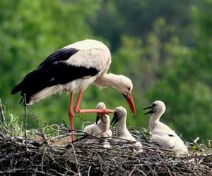 stork, storks, and nestling image