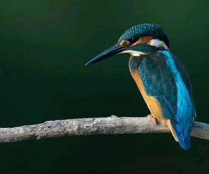 birds, kingfisher, and tree image