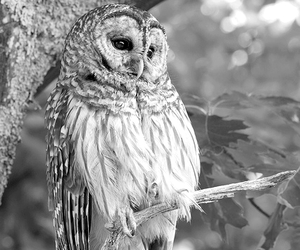 black and white, animal, and owl image