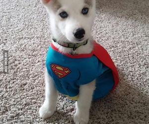 dog, husky, and superman image