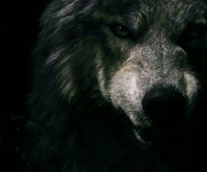 animal, Darkness, and wolf image