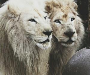lion, animal, and white image