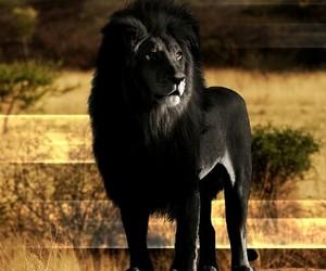 lion, black, and animal image