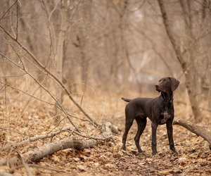 dog, dogs, and pointer image