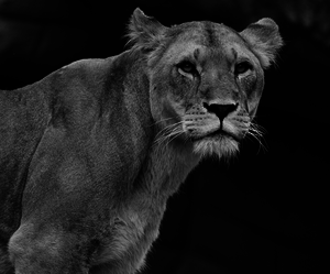 black and white, lioness, and varnuak image