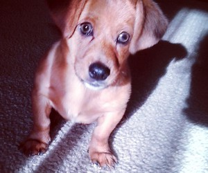 adorable, dachshund, and cute image
