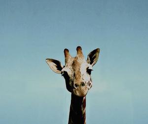 giraffe, animal, and vintage image