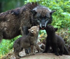 black dog, dog, and wolves image