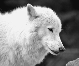 animal, black and white, and wolf image