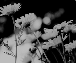 black and white, flowers, and white image