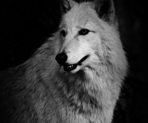 animal, wolf, and black and white image