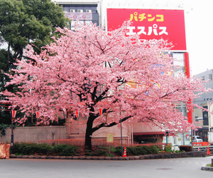 beautiful, japan, and pink image