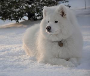 animal, dog, and Samoyed image