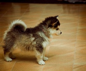 adorable, dog, and malamute image