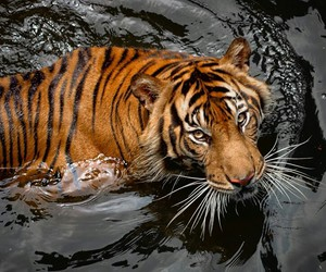 beautiful, power, and tiger image