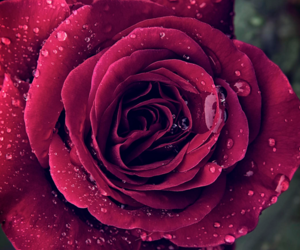 drops and rose image