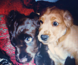 cocker spaniel and puppies image