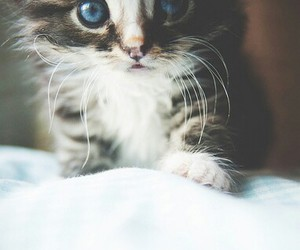 adorable, blue eyes, and kitty image