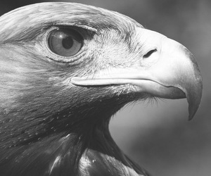 black and white, eagle, and animal image