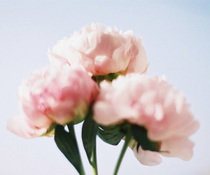 flowers, pink, and poppy image