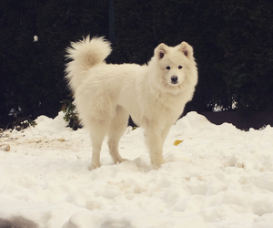 dog, Samoyed, and snow image