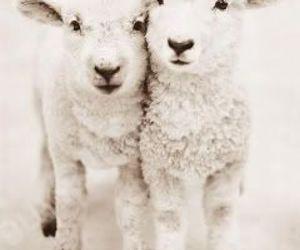 cute, animal, and sheep image