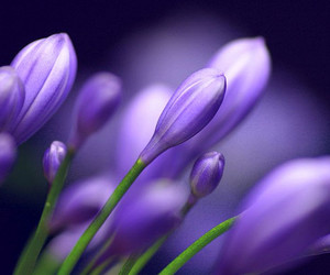 blue, buds, and bokeh image