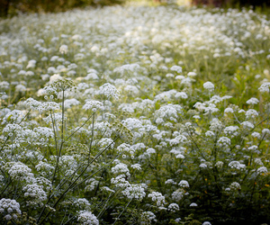 flores, flowers, and santiago de compostela image