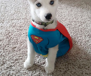 dog, husky, and superman image