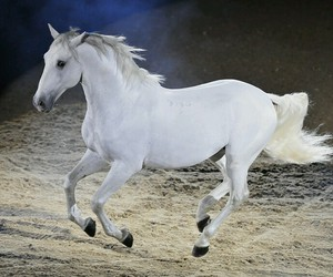 horse, white, and lipizzan image