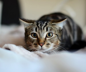 cat, eyes, and focus image