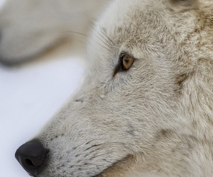 white, wolf, and animal image