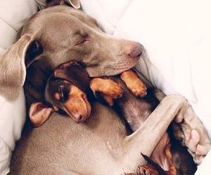 animal, beagle, and beauties image