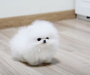 puppy, white, and pomeranian image