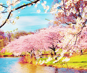 blossom, flowers, and tree image