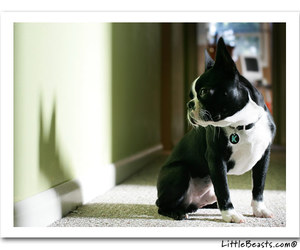 boston terrier and looks at shadow image