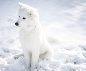 adorable, snow, and wolf image