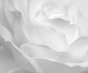 flower, photography, and rose image