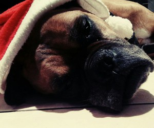 boxer, christmas, and dog image