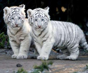 adorable, babies, and tigers image