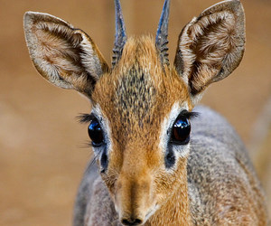 animal, deer, and dik dik image
