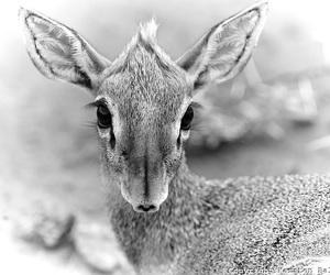animal, black & white, and deer image